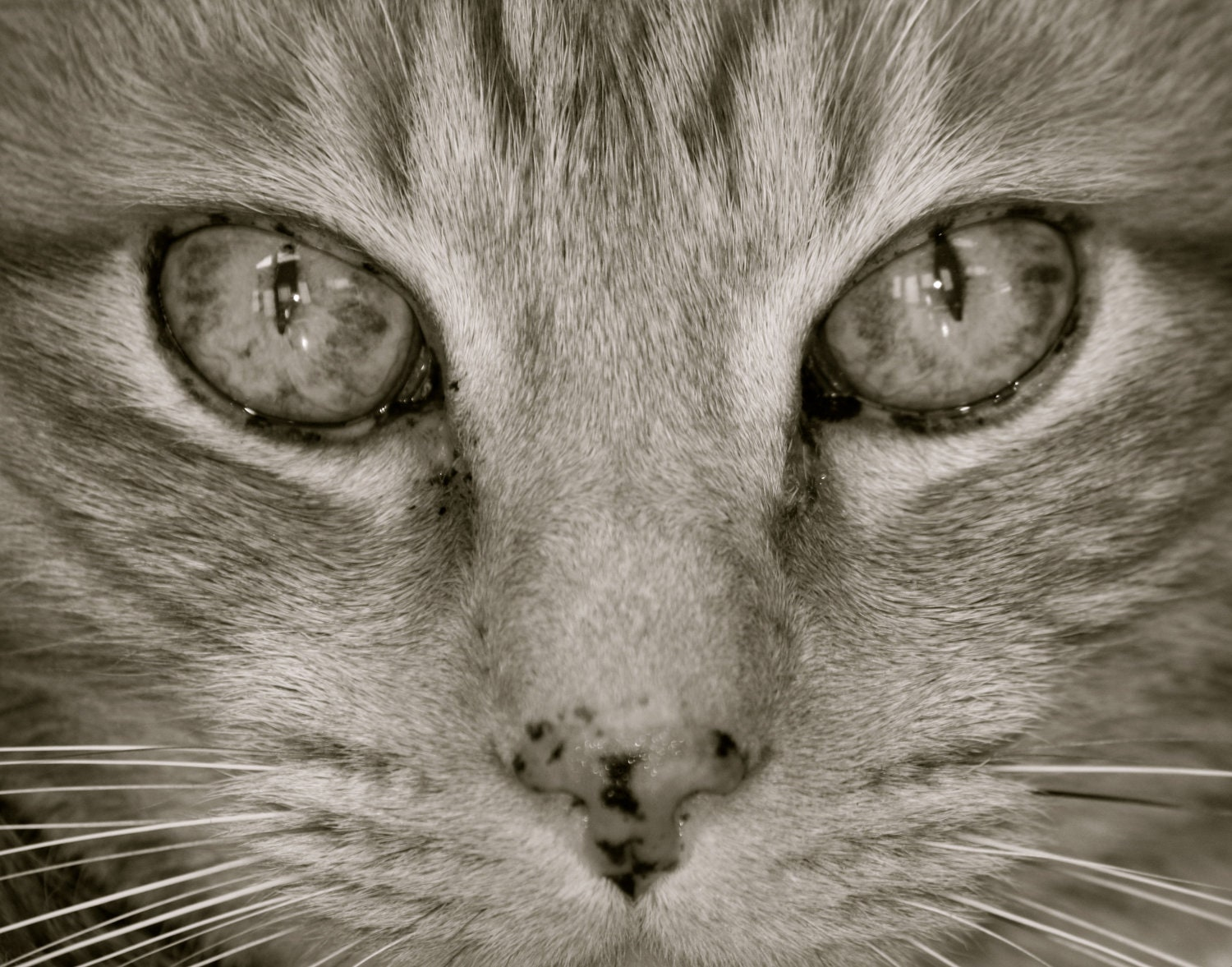 Cat Eyes, Feline Cat Lover, Nicholas the Great, 5x5 Black and White Photograph, FPOE, POE
