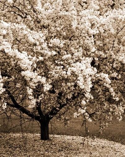 Spring Blossoms Photo - flowering tree pastel blooming tree white sepia warm 8x10 - FirstLightPhoto