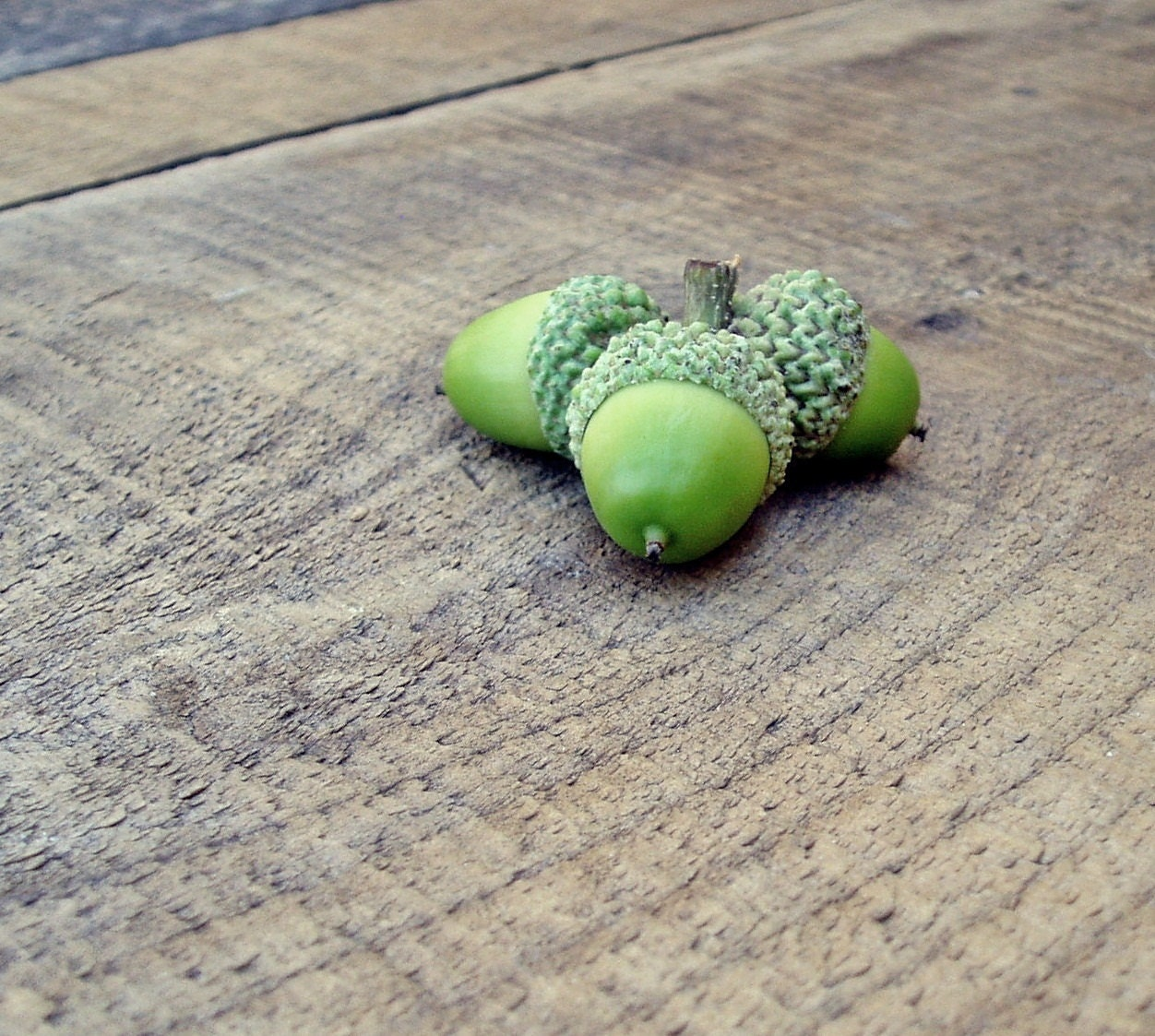 Acorns Green Photo 5x5 Signed Print Wall art Nature Photography Rustic - 132Photography