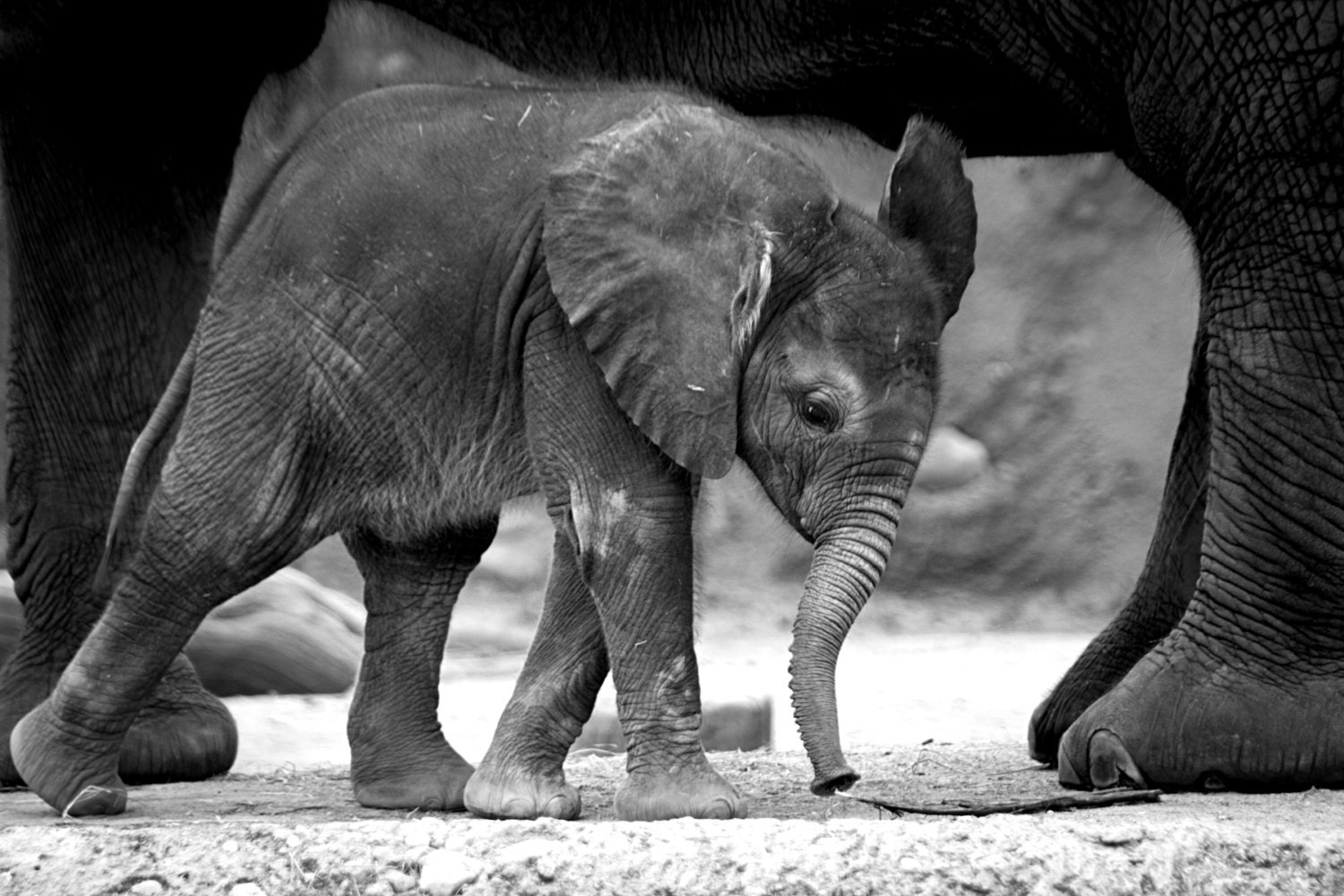 Baby Elephants Black And White Photograph Of Elephant InBaby Wallpaper