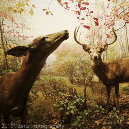 Animal Woodland Photography - Deer photograph- fall autumn woods forest - brown green - rustic art photo - home decor wall art - 6x6 - ZenzPhotography