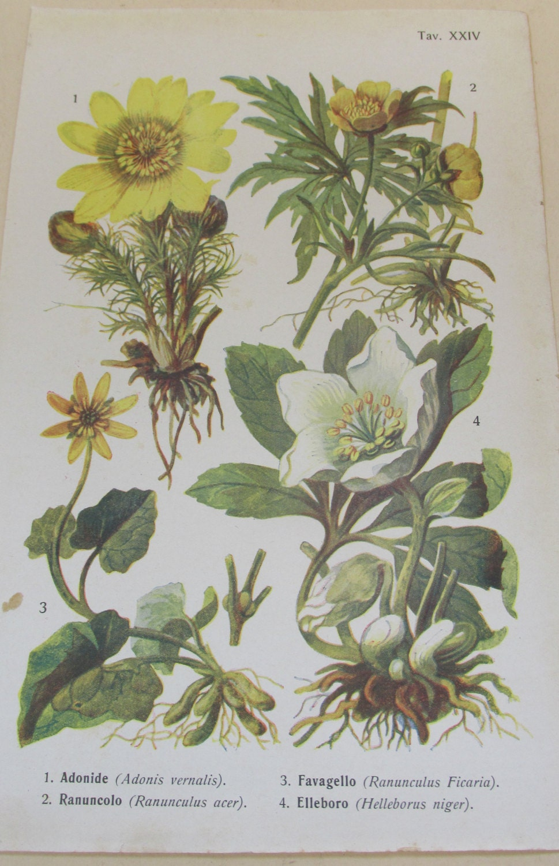 Antique 19th Century Italian Botanical Coloured Book Plate  Helleborus  Ideal For Framing  XXIV