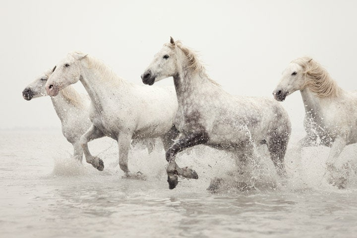 Horse Photography, White Horses Running in Water, Horse Art, Camargue, France, Nature, Animal - Breathless