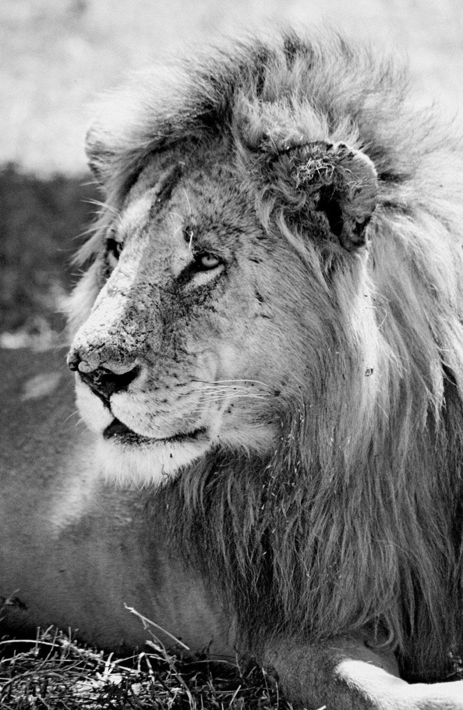 Male Black Lion