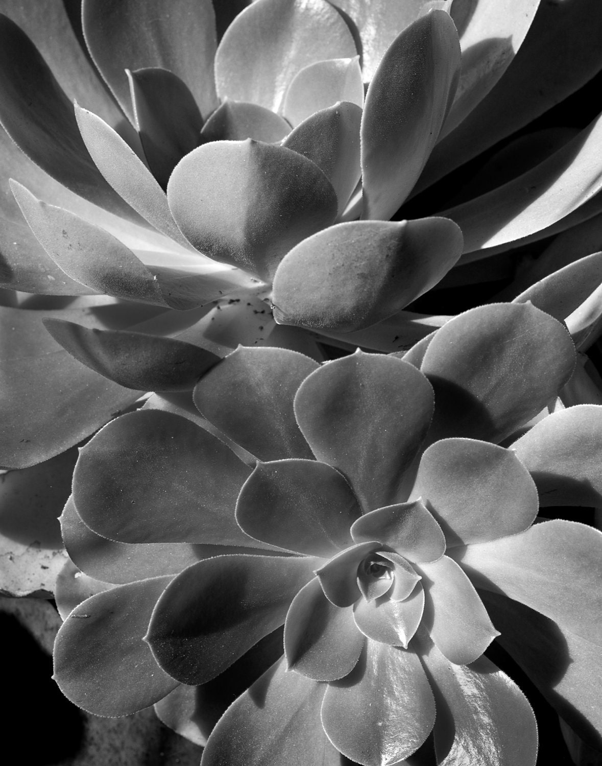 succulents fine art black and white by cameraqueenphoto on