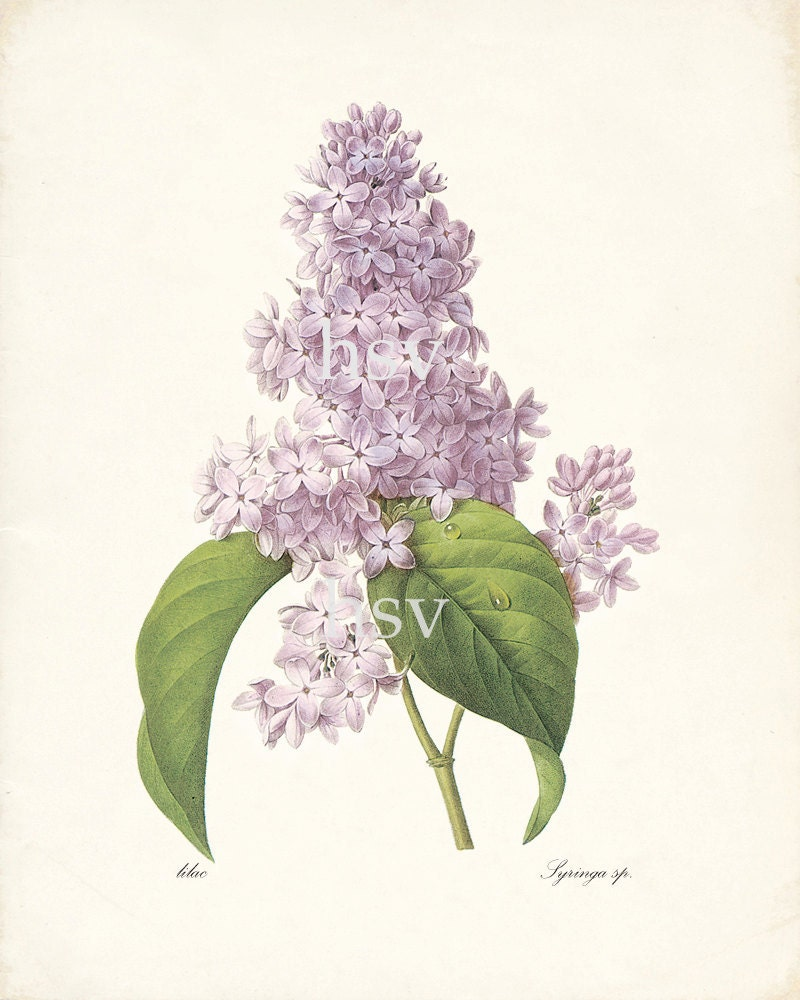 Lilac Illustration  - Redoute Natural History Botanical Wall Decor Print 8x10 - HighStreetVintage