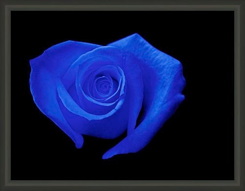 "Professionally Framed 8.75"" x 6.50"" Heart-Shaped Deep Royal Blue Rose, Cobalt, Fine Art Floral Photography by Glennis Siverson - glennisphotos"