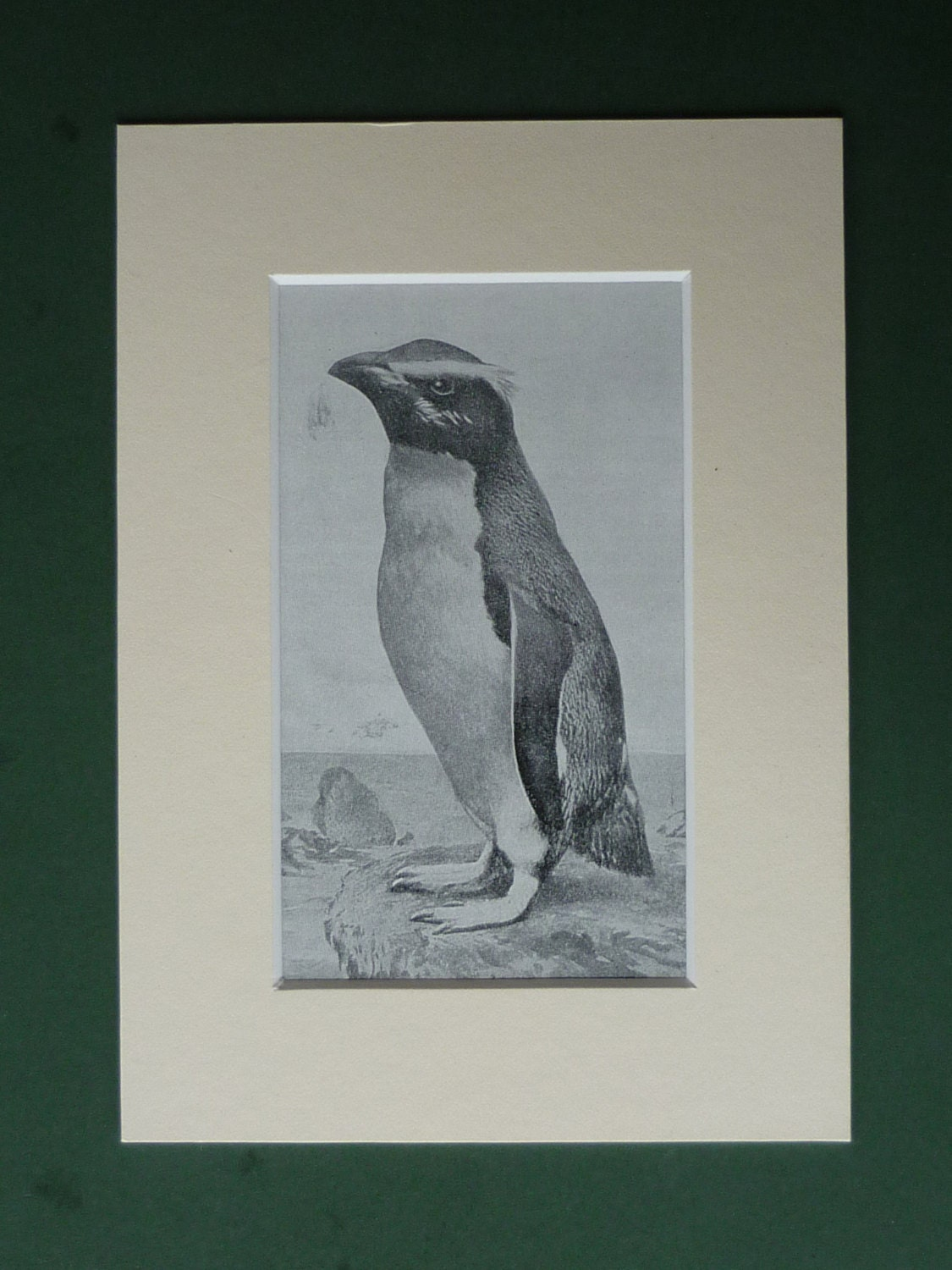 Original 1920s Rockhopper Penguin Matted Print - Rock Hopper - Bird - Ornithology - Nature - Wildlife - Antarctica - PrimrosePrints