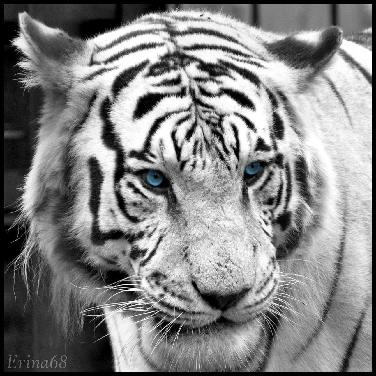 1293 Tiger HD Wallpapers  Background Images  Wallpaper Abyss