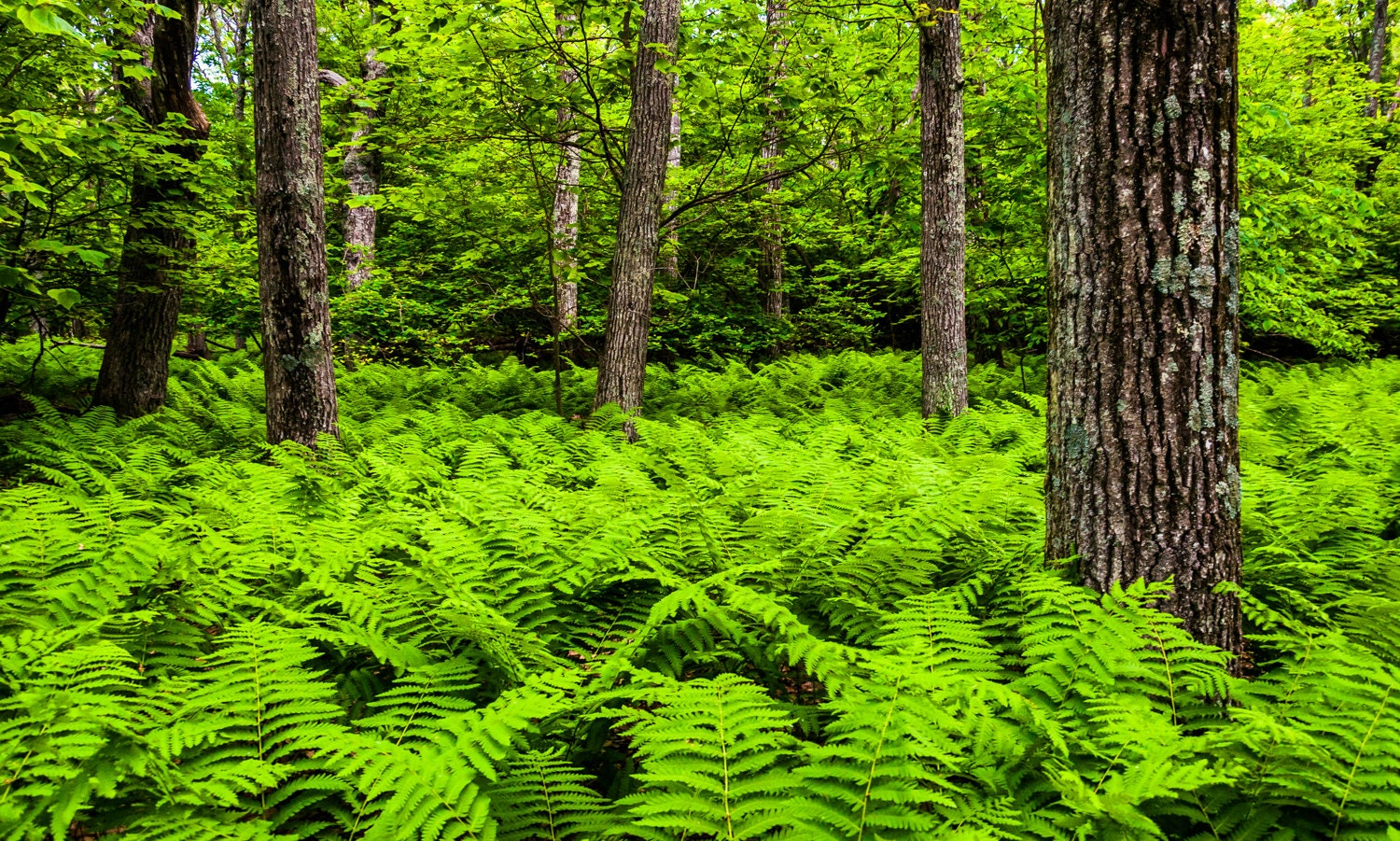 Ferns and trees in a lush forest, Shenandoah National Park, Virginia - Nature Photography Fine Art Print or Gallery Wrap Canvas Home Decor - AppalachianViews