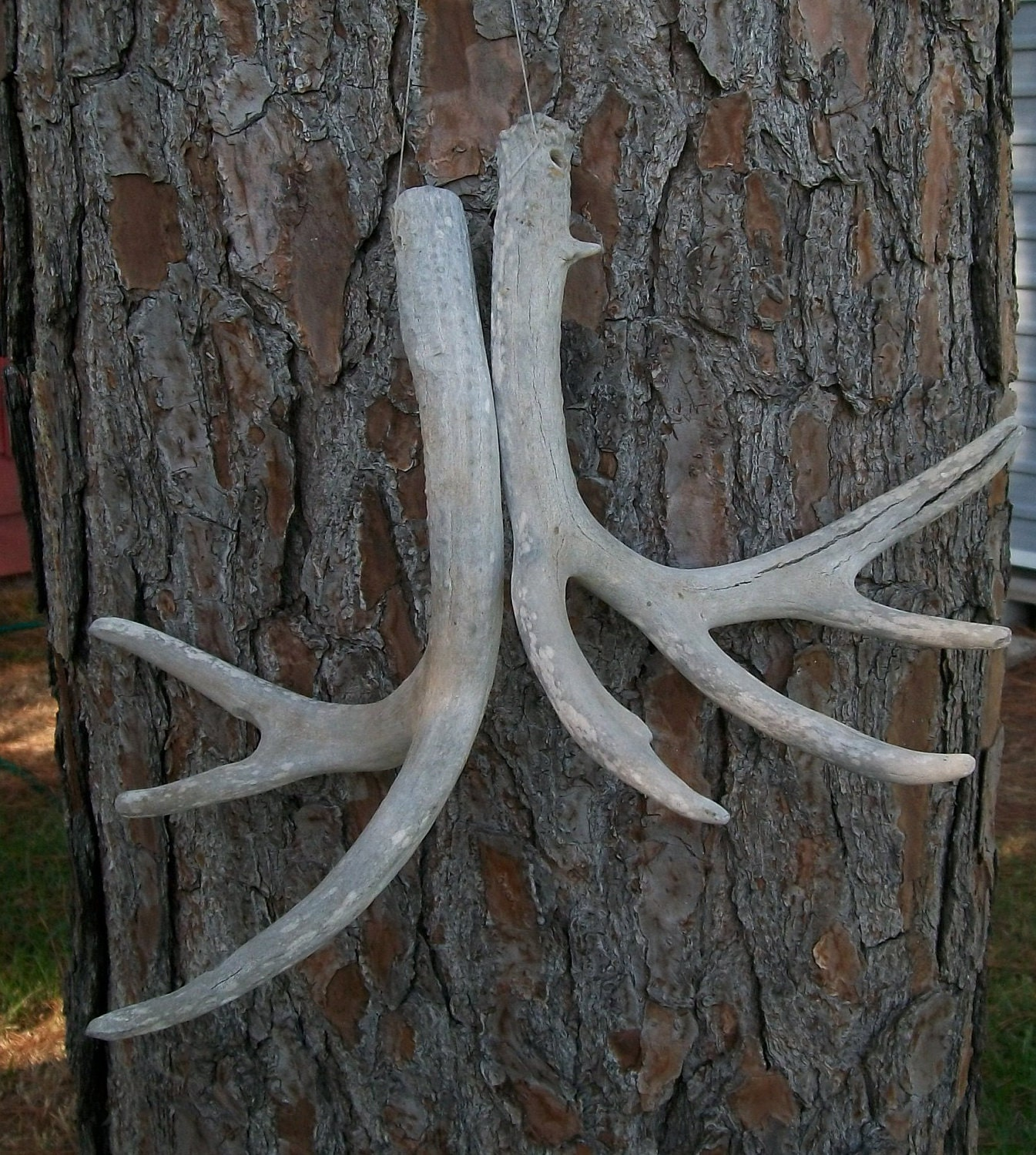 Deer Antlers 7 points Antler rack Texas wildlife hunt souvenir hunting trophy Texan Hunter  rustic decor for Hunter retro Texana Lot M-6