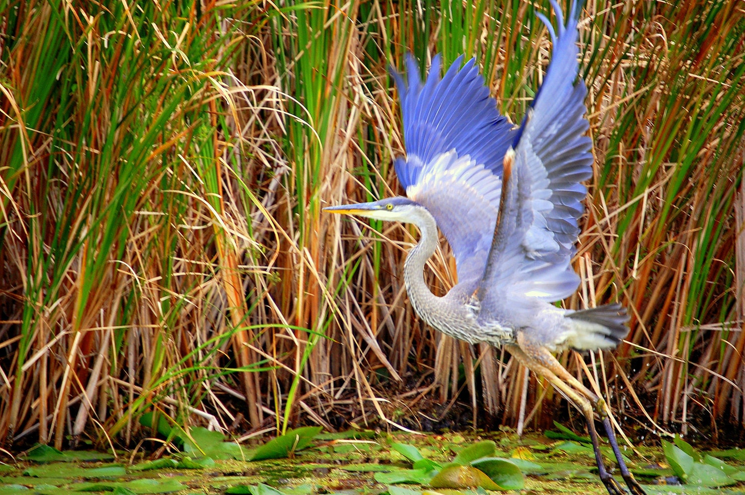 Great Blue Heron 16x20 Giclee Canvas Gallery Wrap Floating Frame Print Nature Photography, Fine art, Home Decor Office Decor - LindaRaeImages
