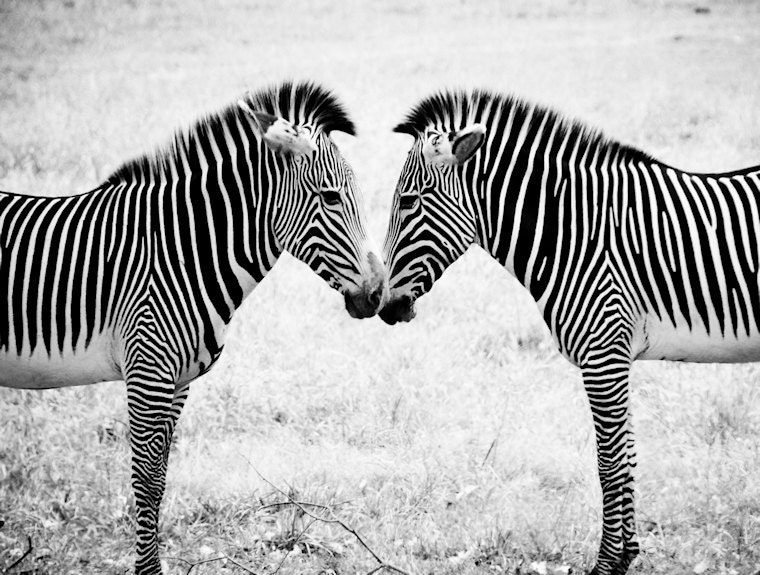 Two Zebras Black & White Fine Art Print or Canvas Wrap