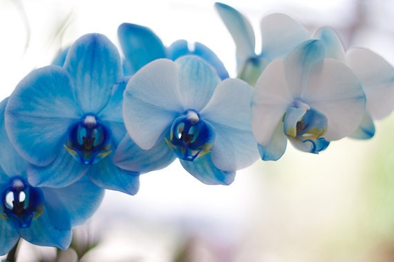 Blue Orchids photograph 8x12 Fine Art Photography flower print wall art decor - AnaPontesPhotography