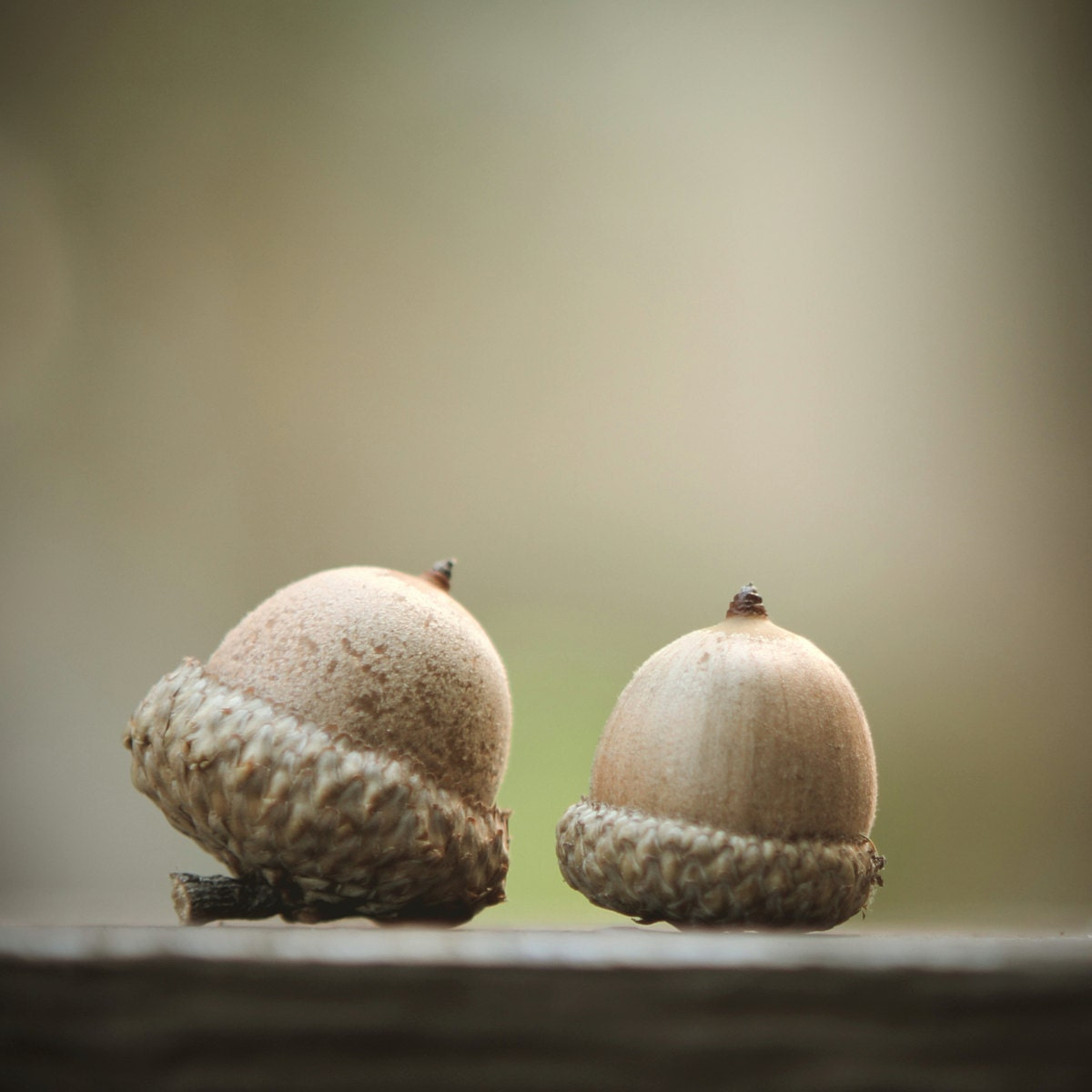 Two Acorns 8 x 8 Photograph - Fine Art Print - Fall Decor - Autumn - Trees - Wall Art - Home Office Decor - TommieSPhoto