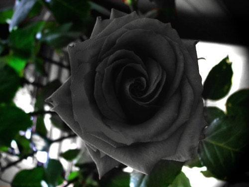 B3008 150 sementes pretas Rose Garden Roses em massa flor rara duplo perene