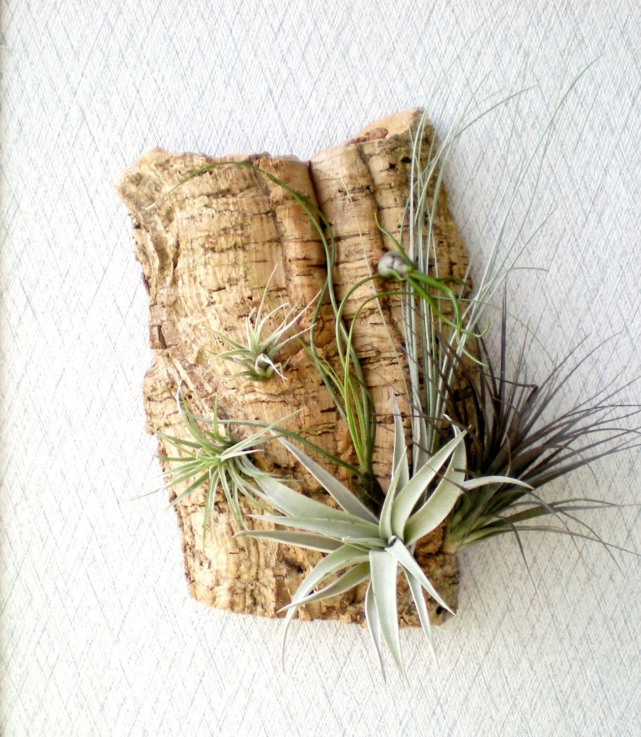 Wall Garden: Air Plants on Sustainable Virgin Cork Bark - Plantzilla