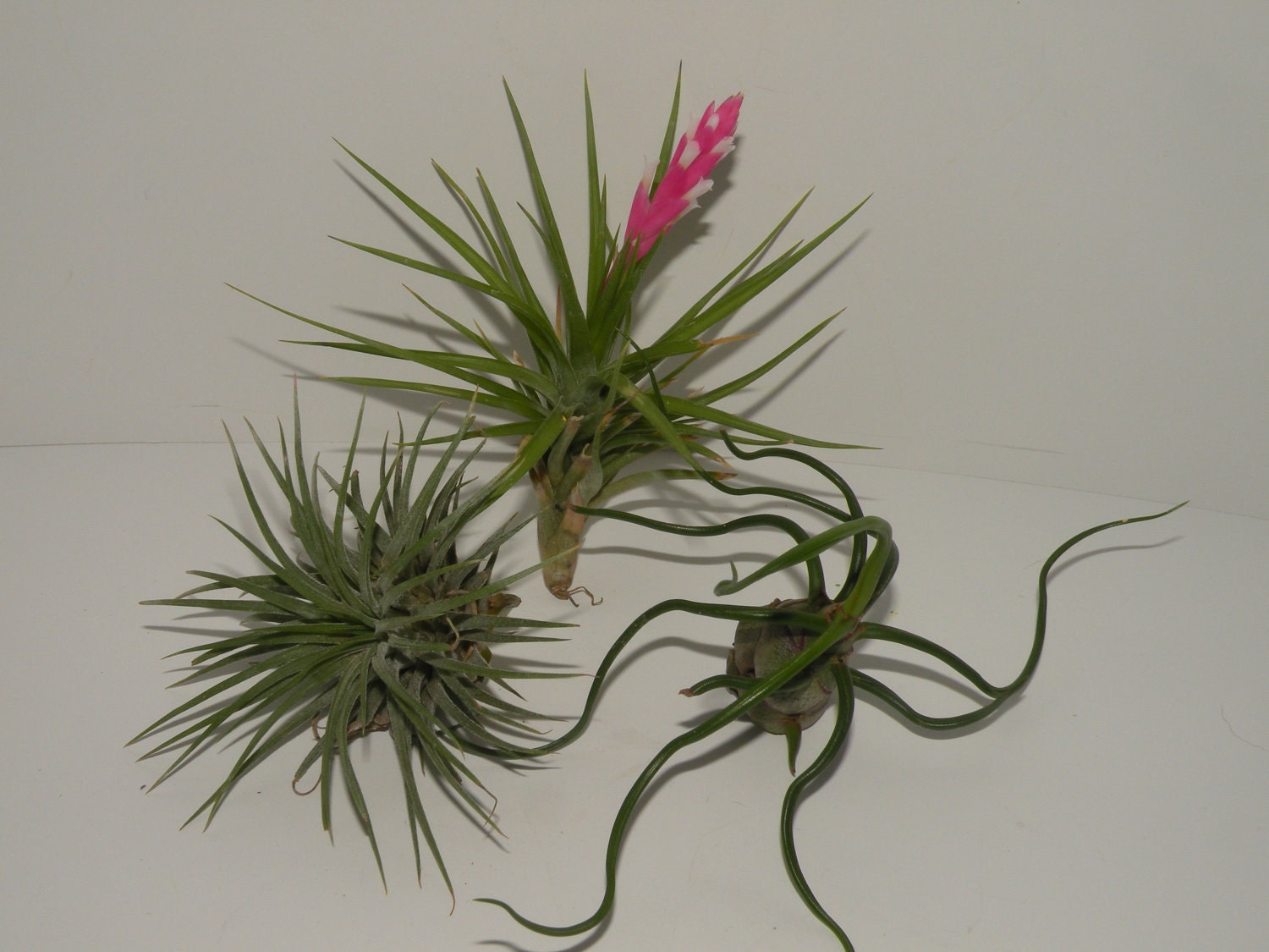 air plants for sale group of 3 healthy plants by
