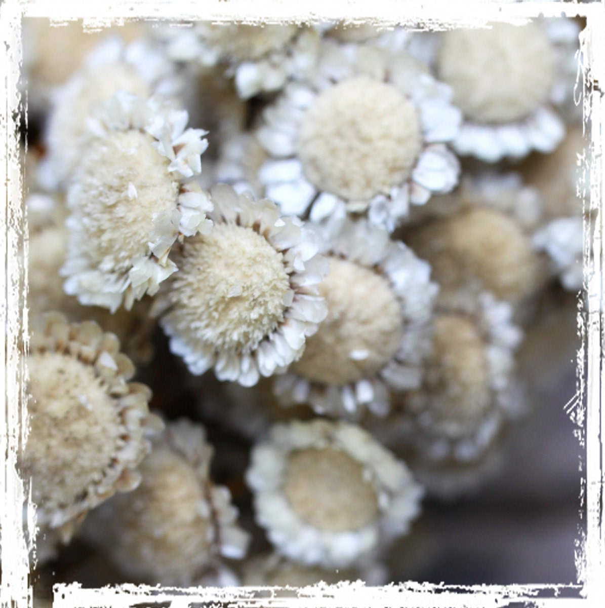 Items similar to margarita flowers natural cream colored for Dried flowers craft supplies