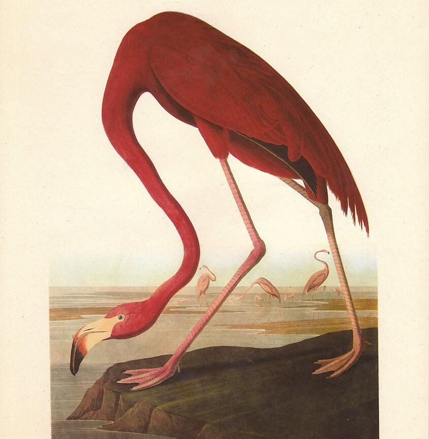 Vintage Audubon AMERICAN FLAMINGO Bird Print by ...