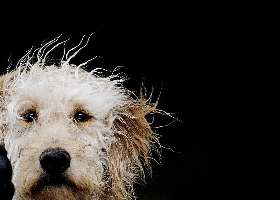 Einstein the Crazyhaired Dog - 5 X 7 Fine Art Photo Print - gandolphoto
