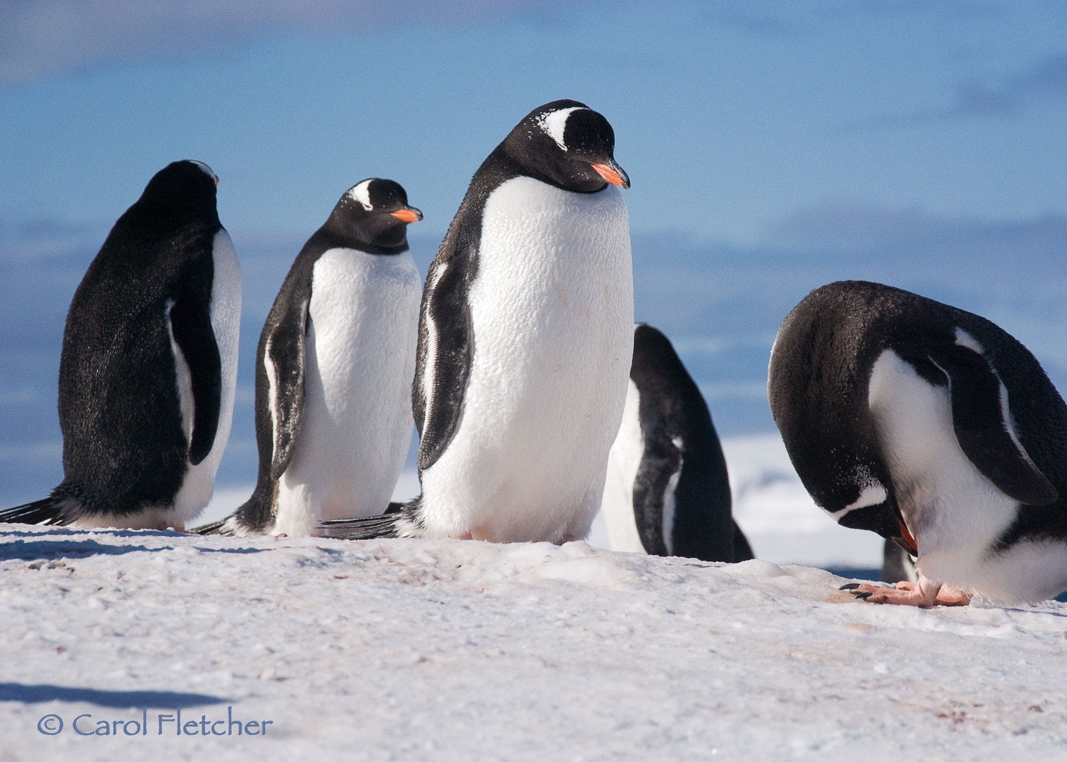 Antarctica Five Penguins - Fine Art Photography Print - 5x7 - Blue - Bird - Gentoo - Cold - Winter - snow - ice - CarolFletcher