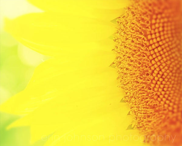 flower photography sunflower yellow flower photograph yellow home decor wall art yellow decor Yellow Burst - eireanneilis