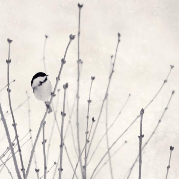 Winter Bird in Snow Photograph, Animal Photo Print, Minimalist Art, Black & White Photography, Winter Decor, Chickadee Art, 5x5 8x8 or 10x10 - RockyTopPrintShop