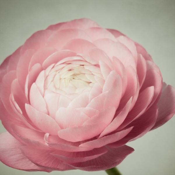 Flower Photography Pink Ranunculus Flower By Rockytopprintshop