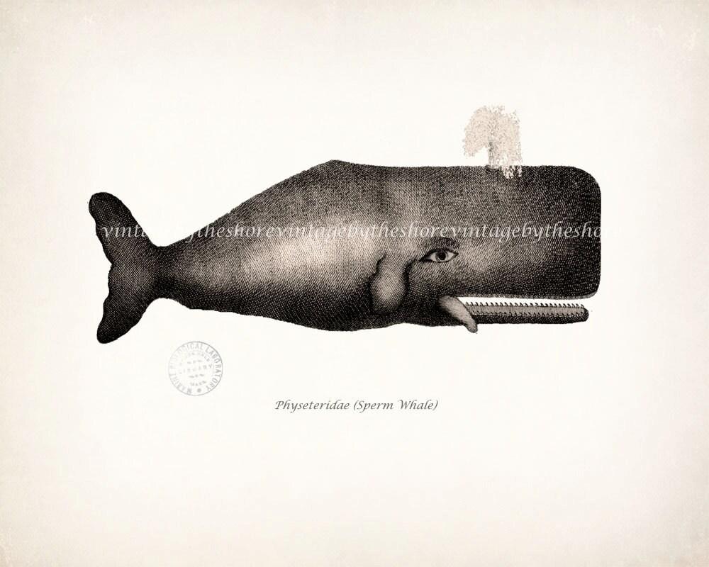 Sperm whale illustrations not