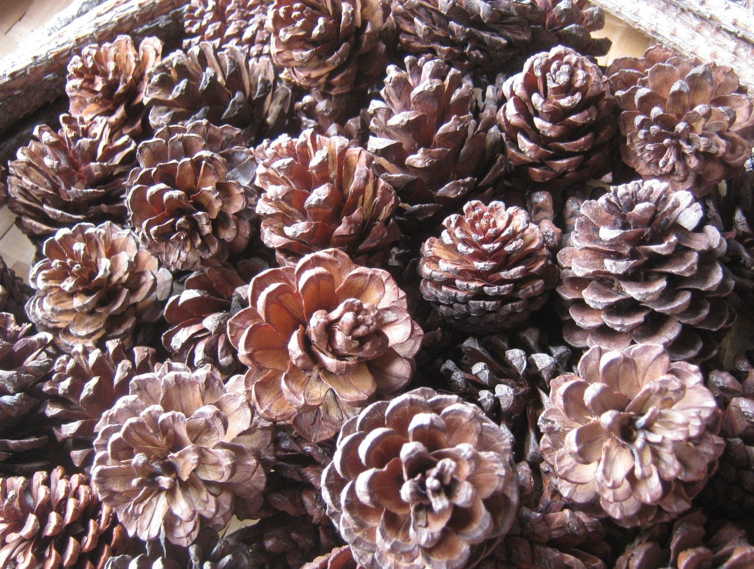 Items similar to sale real pine cones small for your for Small pine cone crafts
