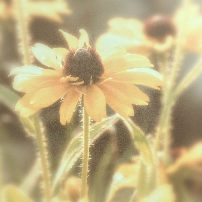 Flower photo, flower photography, country rustic art, Black Eyed Susan, dreamy ethereal photo, monochromatic, spring summer photo, viviarte - ViviArte
