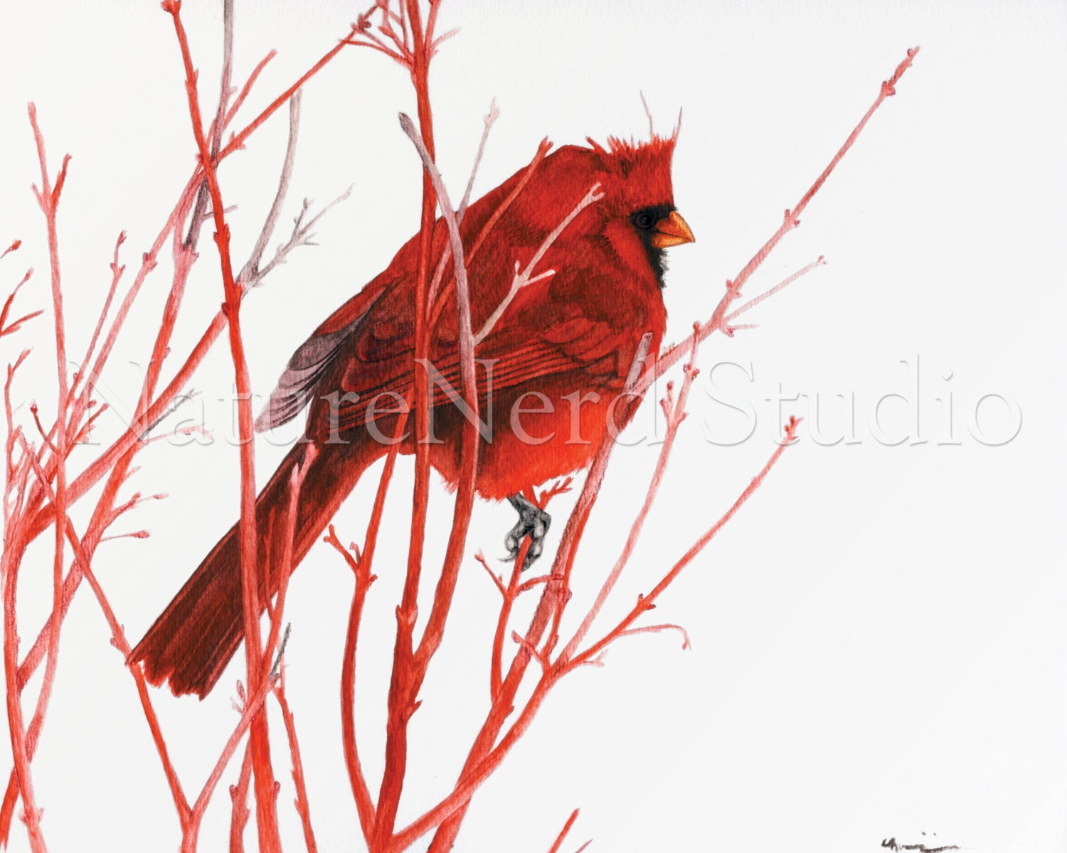 "Northern Cardinal on Coral Bark Maple Branches ""Red Cardinal Feeling Blue"" - Watercolor, 8"" x 10"" Fine Art Print - NatureNerdStudio"