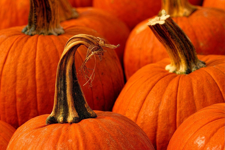 Autumn Pumpkins - Halloween Photography - Fall - Orange - Harvest - Vegetable - 6X9 - Art Print  - Color Photography - Stem - JoshFriedmanPhoto