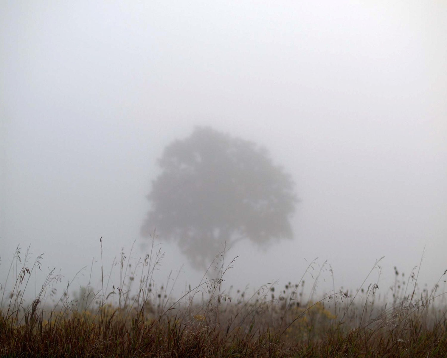 Foggy Autumn, Nature Photography - SOLITARY  8X10  tree, nature, fog, serene, misty, gray, morning. - NearLife