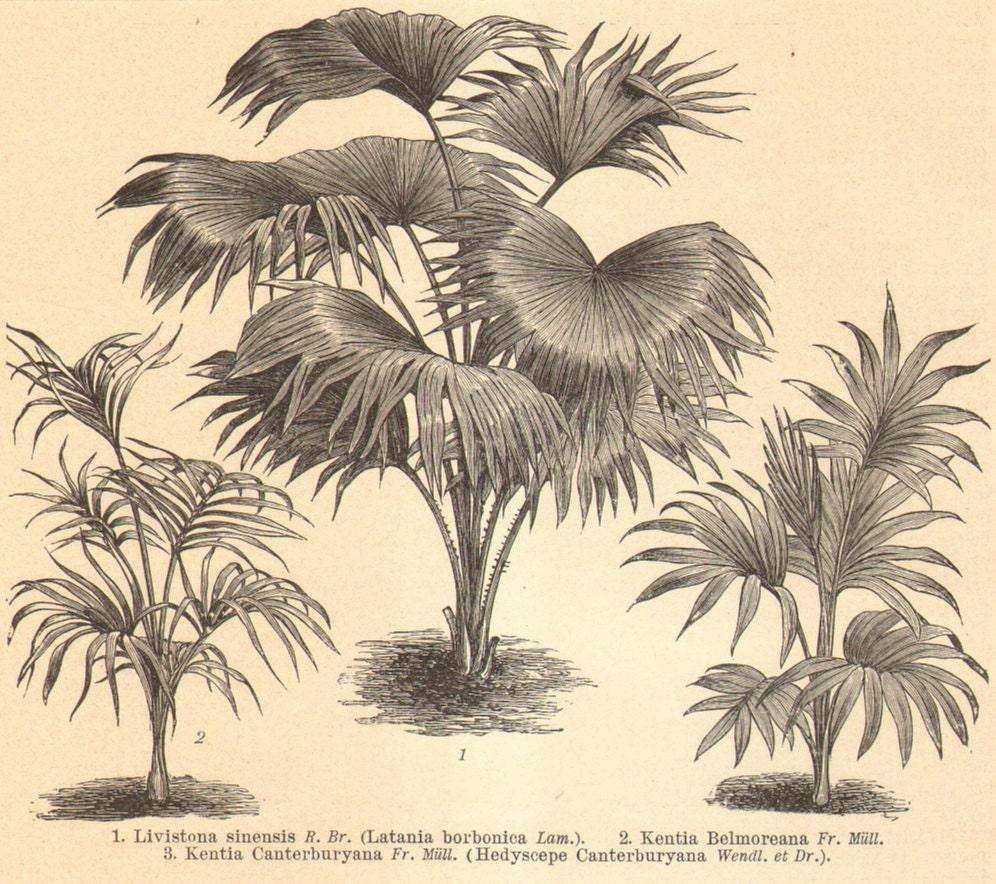 Palm trees coconut palm norfolk island palm broadleaf lady palm