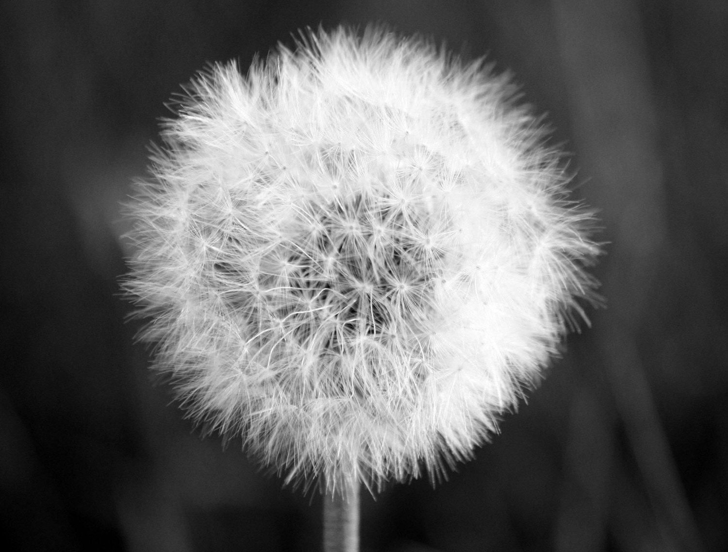 Hanging On - Fine Art Photograph Black and White Nature Flower Dandelion - 5x7 Free Shipping - OneDecember