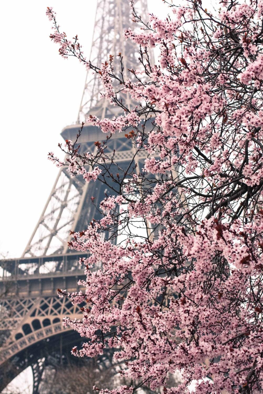 Paris Photography - Paris Je t'aime - Paris in the Springtime - Pink Cherry Blossoms Eiffel Tower - Paris Home Decor - Blush Pink - rebeccaplotnick