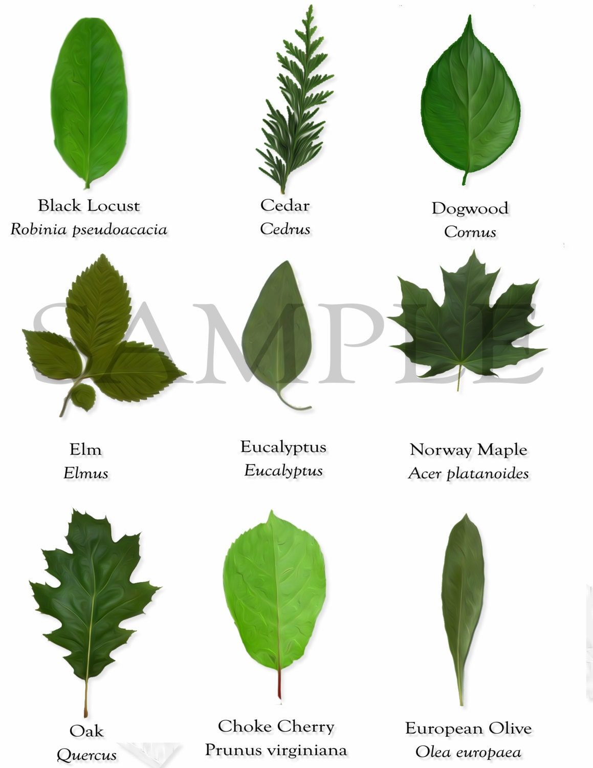 Different Trees and Their Names Leaves! (images) Quiz - By Tree leaf names pictures