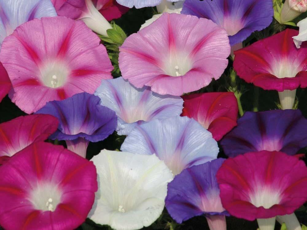 Morning glory anatomy flower  Art Inspiration  Pinterest
