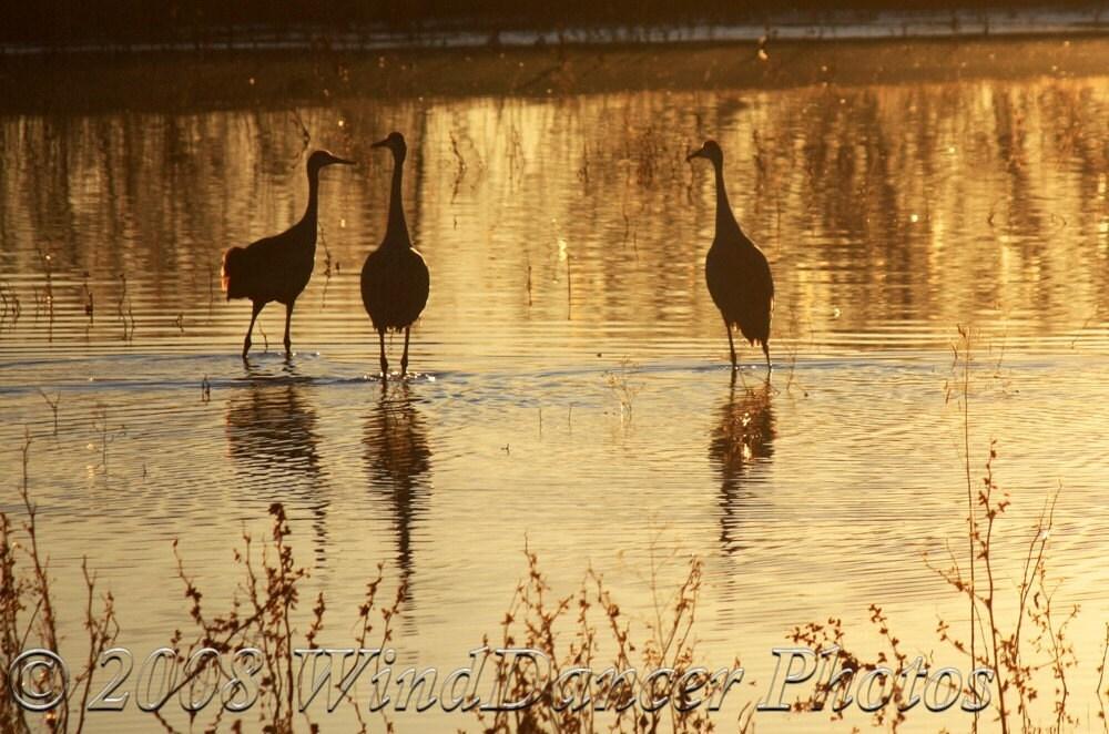 Golden Cranes - 8 x 12  Fine Art Photograph - Sunset - Golden Pond - Sandhill Cranes - Wildlife - Home Decor - Office Decor - WindDancerPhotos