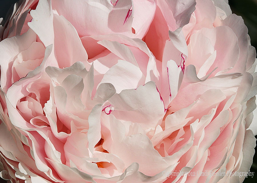 Pink Peony, 5x7 Fine Art Photography, Floral Photography, Flower Photography - CindiRessler