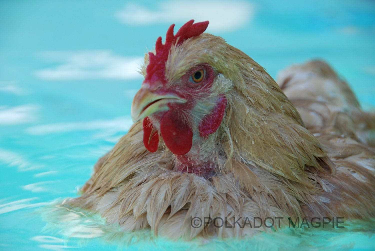 Nursery art chicken swimming pool summer whimsy fine by for Chicken in swimming pool