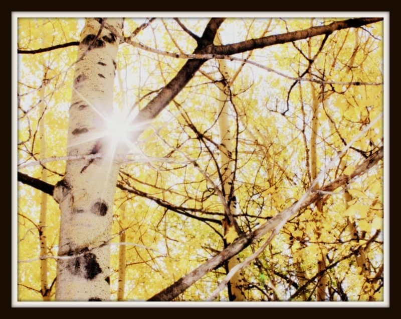 Nature Photography - Home Decor -Aspen Trees, Branches,  pale yellow, black- white - 8x10 inch Tree Photography - Aspen - KarieJorgensen