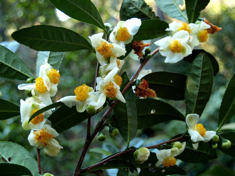 Камелия чайная китайская выращивание уход размножение фото