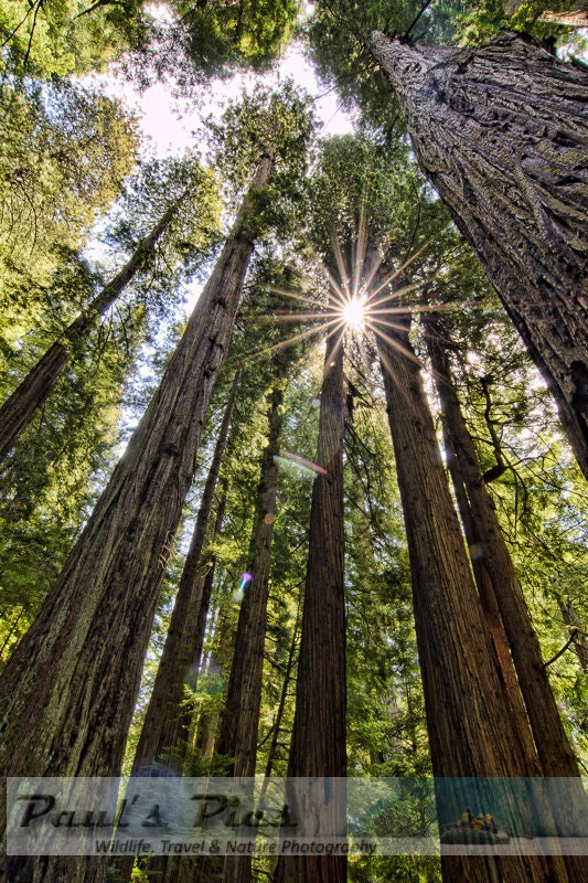 Redwood Forest, 8x12 Fine Art Photograph (G7820), Nature Photography - PaulsPics