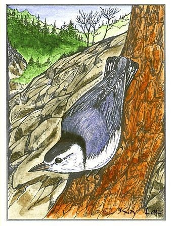 Nuthatch - Bird Print - Wildlife Songbird Art - Bird Art Print - by Will Kay Studios - willkaystudios