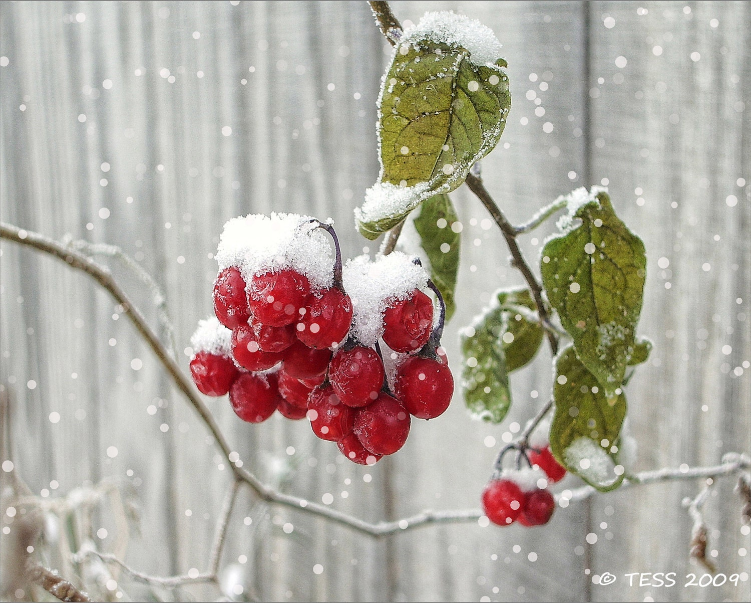 Winter Berries Photo - 8 x 10 Snow Berries - Winter Photography - Frosty Red - Christmas Photography - PhotographybyTess