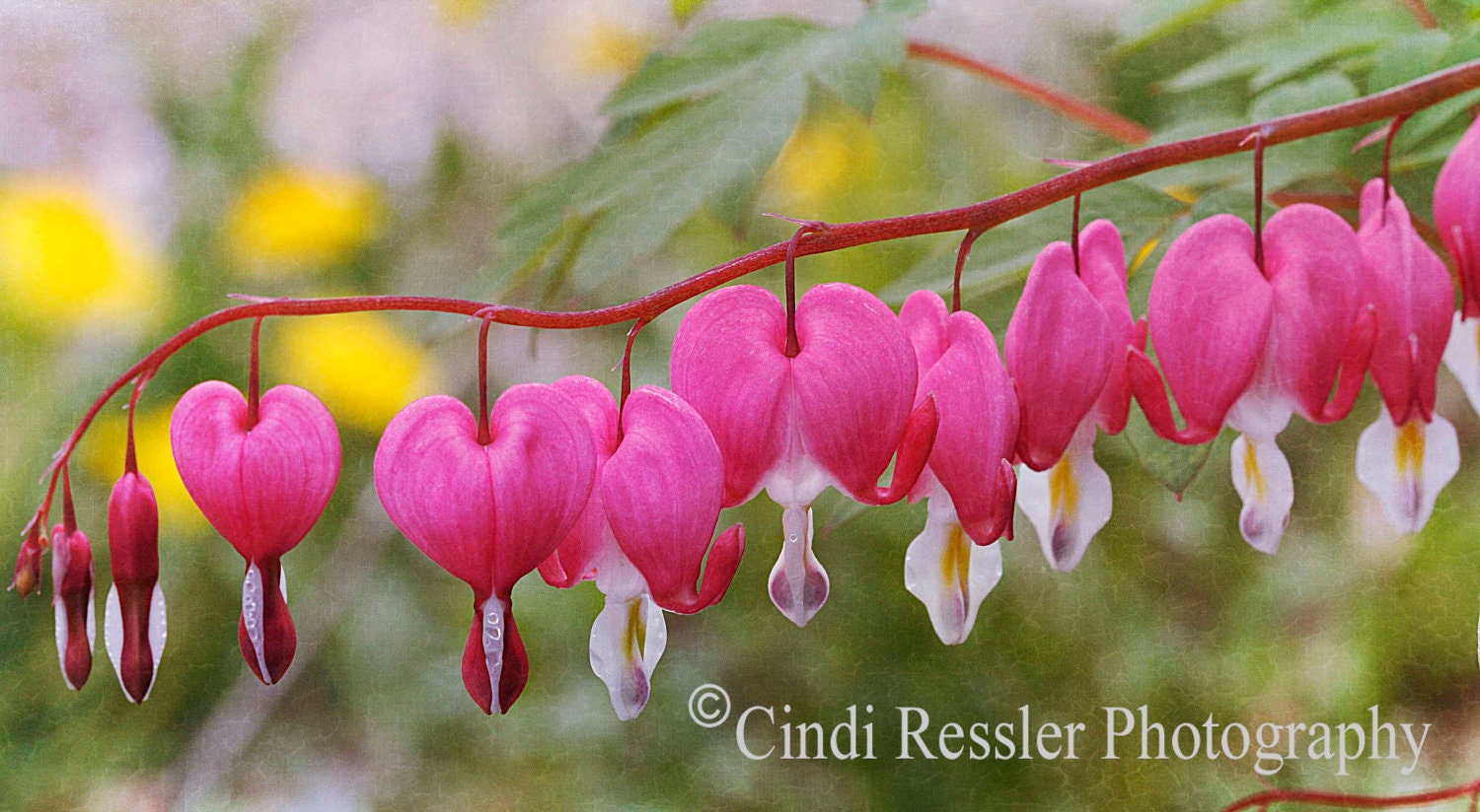 Bleeding Hearts, 8x10 Matted Fine Art Photography, Flower Photography, Floral Photography - CindiRessler