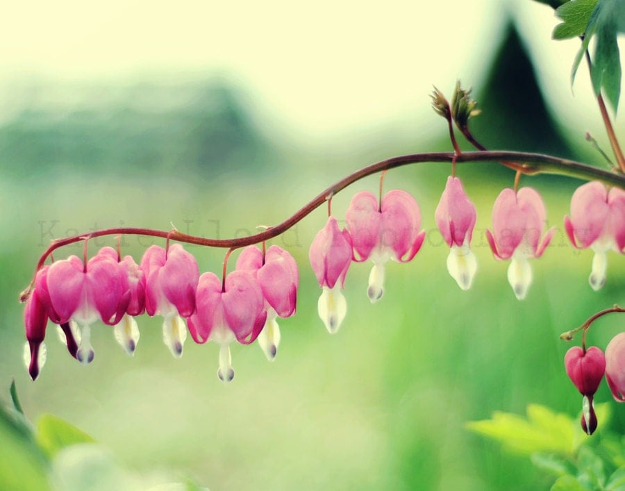 Love Is In the Air - 11x14 Fine Art Flower Photography Print - Pink Bleeding Hearts, Jade and Grass Green Garden Home Decor Photo - KatieLloydPhoto